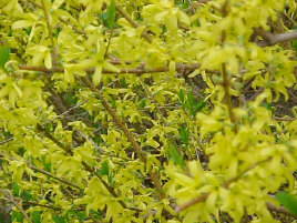 Forsythia intermedia - Lynwood Gold ForsythiaBright yellow flowers that can really welcome spring! Best planted where they have room to grow naturally since trimming may remove next year's flowers. Deer resistant. Growth to 8 ft tall x 8 ft wide.