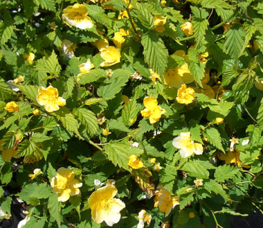 Kerria japonica 'Golden Guinea' - Japanese RoseDeciduous shrub with growth to 5 ft. tall x 4 ft. wide. Golden-yellow flowers in late spring. Stems stay green through winter, creating some added interest. Tolerates dry conditions.