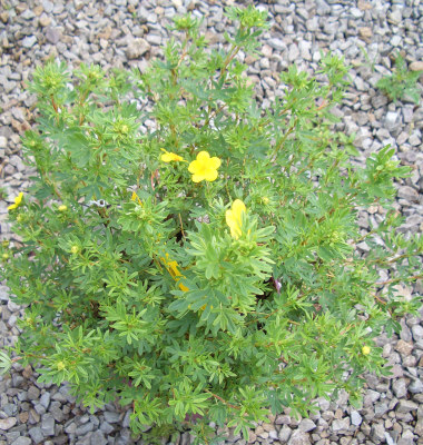 Potentilla fruticosa - Goldfinger PotentillaFlowering all summer on a compact plant. Likes full sun. Growth to 3 ft tall x 4 ft across.