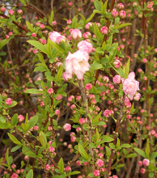Prunus glandulosa - Dwarf Flowering AlmondMulti-stemmed, spreading shrub with pink to white flowers in spring. Moderate growth to 4 ft. tall x 4 ft. wide.