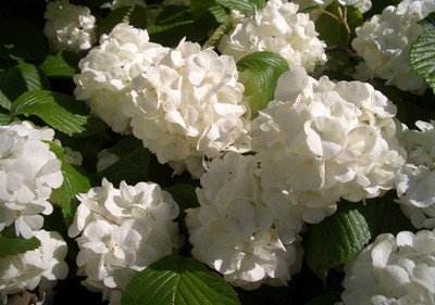 Viburnum plicatum thunbergii tomentosum - Japanese Snowball BushLarge white 'snowball' blossoms in spring make this a memorable shrub. Moderate rate of growth to 12 ft x 12 ft. Deer resistant.