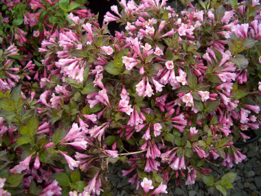 Weigela florida 'Minuet' - Minuet WeigelaVery hardy dwarf variety of Weigela with moderate growth to 3 ft x 3 ft. Foliage has a purplish cast with flowers in May.