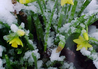 Late snow on daffodils