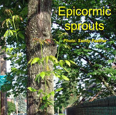 epicormic-sprouts.jpg