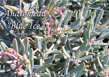 ANDROMEDA 'Blue Ice'Bog Rosemary - Low, spreading plant tolerates wet, compacted acid soils. New foliage is silvery gray turning to blue green. Pinkish-white fragrant flowers are bell-shaped. Dwarf growth to 1 foot tall x 3 feet wide.