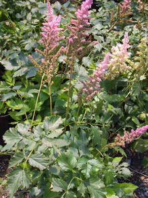 ASTILBE chinensis 'Visions in Pink'Visions in Pink - Thrives in shady, moist locations. Pink plume blossoms in summer. Grows to 15-inches tall.