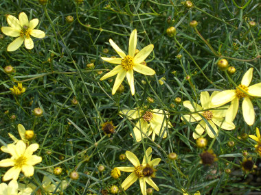 COREOPSIS verticillata 'Moonbeam'Tickseed - Fernlike foliage with lemon-yellow daisylike flowers that bloom throughout the summer months. 1992 Perennial of the Year.