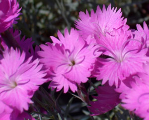 DIANTHUS gratianopolitanus 'Firewitch'Cheddar Pinks - Growth to 8