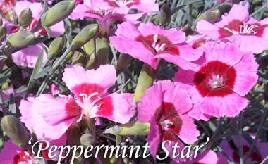 DIANTHUS 'Peppermint Star'Cheddar Pinks - Grey-green foliage. Raspberry-pink blossoms with wine-red centers. Dwarf habit. Spicy scent. Requires good drainage.