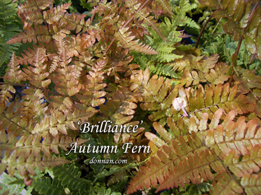 DRYOPTERIS erythrosora 'Brilliance'Brilliance Autumn Fern - Green summer fronds have a russet color in spring and fall. Zone 5 to 8. Grows to 2-feet tall and wide. Tolerates morning sun and dry shade once established.
