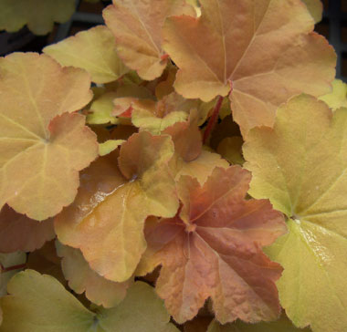 HEUCHERA 'Caramel'Caramel Coral Bells - Apricot-tinted foliage with growth to 12