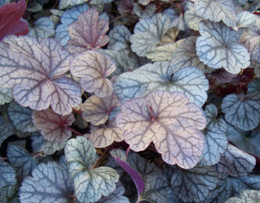 HEUCHERA 'Silver Scrolls'Silver Scrolls Coral Bells - Silver over burgundy creates an attractive foliage that can withstand hot summers. Growth to 12