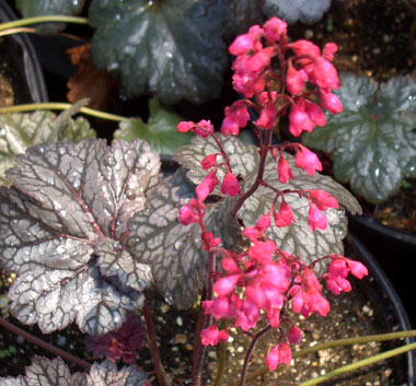 HEUCHERA 'Tango'Tango Coral Bells - Compact plant with metallic veiled purplish leaves and fuchsia-pink flower spikes. Part sun. Spikes grow to 14-inches tall.