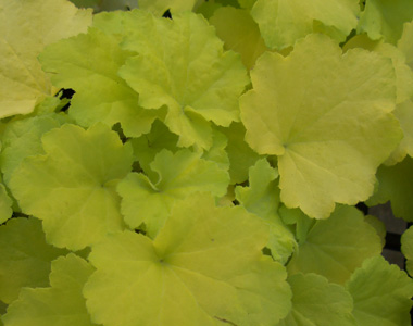HEUCHERA 'Citronelle'Citronelle Coral Bells - Heat tolerant, but needs part to full shade to protect its yellow foliage. Good in the garden or a container. Growth to 14