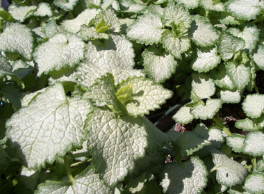 LAMIUM 'Pink Pewter'Pink Pewter Lamium - Excellent ground cover for partial to full shade. Soft pink flowers. Growth to 6