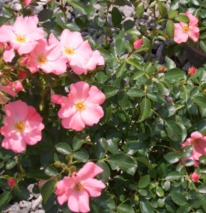 ROSE Flower Carpet® Groundcover Rose - Hardy, compact, spreading rose with good disease resistance. Growth to 30