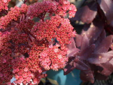 SEDUM 'Purple Emperor'Stonecrop or Orpin - Grow in full sun to partial shade. Popular plant with purple foliage for use in rock gardens and flower beds. Flowers late summer into fall.