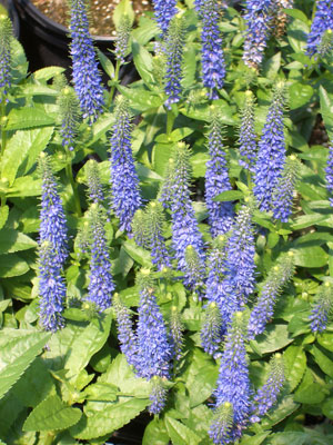 VERONICA 'Royal Candles'Royal Candles - Violet-blue flower spikes in late spring. Full sun to part shade with growth to 20-inches tall.
