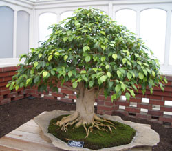 Ficus benjaminaWeeping Fig bonsai in training since 1989Artist: Keith Scott -