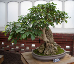 Ficus benjaminaWeeping Fig bonsai in training since 1993Artist: Keith Scott -