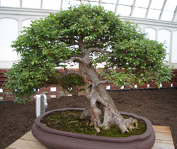 Bonsai with that look of a wind-bent tree -