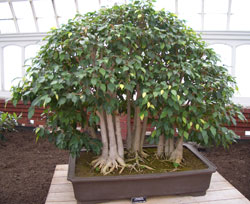 Ficus benjaminaWeeping Fig bonsai in training since 1995 -