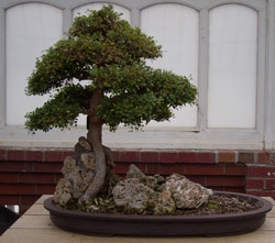 Weathered rocks create an authentic look in this bonsai -