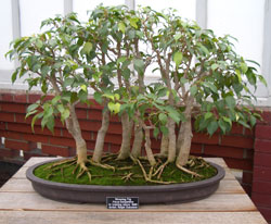 Ficus benjaminaWeeping Fig bonsai in training since 1989Artist: Ralph Dukstein -