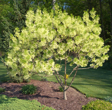 CHIONANTHUS virginicusWhite Fringetree - Small tree with lacy panicles of very fragrant white flowers in spring. Tolerates wet soil.