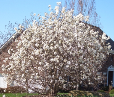 MAGNOLIA kobus stellateRoyal Star Magnolia - Fabulous white blossoms herald spring's arrival prior to leaf break. Deer resistant. Does best in full sun. Every yard should have a Star Magnolia. Moderate rate of growth to 20 ft across x 25 ft tall.