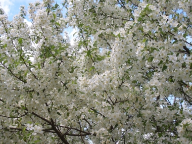 MALUS 'Snowdrift'Snowdrift Flowering Crabapple - Popular old variety of flowering crabapple growing 15-20' tall and wide. Covered with white flowers in spring followed by small, orange-red crabapples in fall that persist and are attractive to birds.