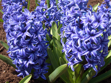HYACINTH - Great for bringing into the house for a sweet, fantastic breath of spring! Deer resistant.