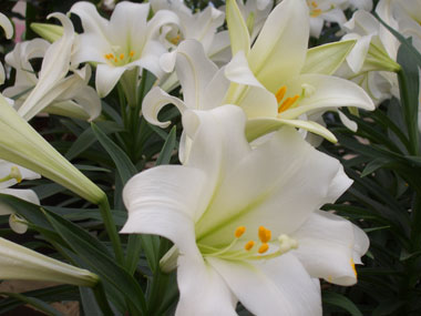 EASTER LILY - Considered a joyful symbol of hope, beauty, and life. Plant 12 to 18 inches apart in a sunny spot with well-drained soil rich in organic matter. Plant bulbs 3 inches deep and mound soil an additional 3 inches over top. Blooms in mid-summer.