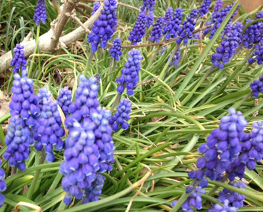 GRAPE HYACINTH - Long lasting blooms that are easy to grow. The hardy bulbs prefer well drained soil in full sun, but will tolerate part shade. Look best in groups or 'drifts.'