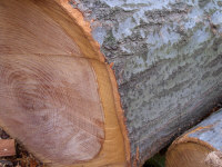 Oak (Red) - Northern Red Oak is mostly straight grained with a coarse texture. The wood is hard and heavy, and a pinkish reddish brown. Red Oak trees have shiny silver bark on the upper branches. Good heat value.