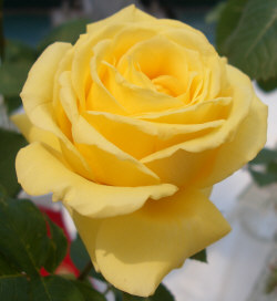 Yellow Rose - Yellow roses are given to express friendship, gladness, and joy.