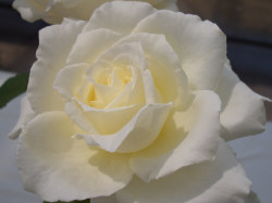 White Rose - White roses are given to express innocence, purity, and humility.