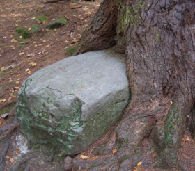 Rock Eater Tree - This tree in Cook Forest eats rocks for breakfast!