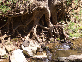Root Expose - A fast running creek has kept these roots exposed.