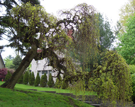 Dorothy Tree - Instead of growing in Oz this 'Dorothy Tree' reaches down to grab an unsuspecting passersby.