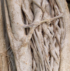 Tree with Braids - Ficus trunk at a Pittsburgh botanical garden.