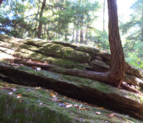 Tree named 'Rocky' - Who says a tree can't grow in rock.