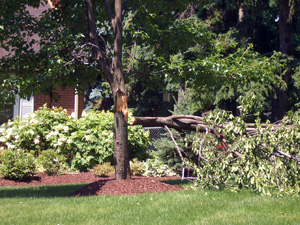 """This Bradford Pear was the victim of a summer storm that was packing high winds. The right half of the tree split-out at the first major """"V-shaped"""" crotch."""