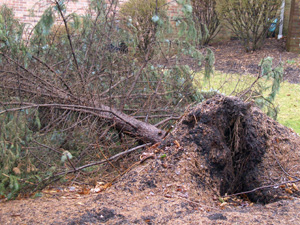 This large evergreen tree was the victim of high winds and rain-soaked soil. Many people ask if these trees can be stood back up and staked in place. It should only be attempted with the most valuable specimens since success will be limited.