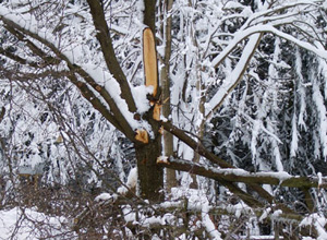 Tree damaged by heavy snow will need to be removed.