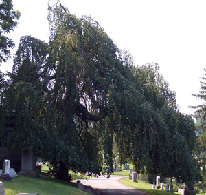 WEEPING EUROPEAN BEECH  -  Fagus Sylvatica 'Pendula'   This huge weeping beech in Washington Cemetery (Washington, PA) is quite unique in the way it overhangs a roadway.
