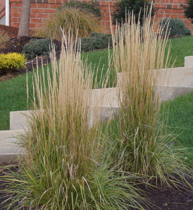 CALAMA-GROSTIS x acutifloraFeather Reed Grass - Sun to light shade. Plumes late summer into Fall. Upright narrow clump with fine texture. Height 2 to 4 feet.