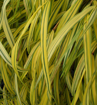 HAKONECHLOA macra 'Aureola'Golden-variegated Japanese Forest Grass - Grows in partial shade to full sun. Leaves are bright yellow with green stripes that change to red in the fall. Grows to 16