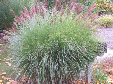 MISCANTHUS sinensis 'Gracillimus'Maiden Grass - Best grown in full sun. Narrow green leaves with white midrib. Plumes in the Fall. Height 6 to 7 feet.