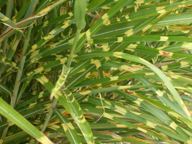 MISCANTHUS sinensis 'Zebrinus'Zebra Grass - Sun to partial shade. Prefers moist soil. Wide green leaves with yellow stripes or bands. Height 5 to 8 feet.